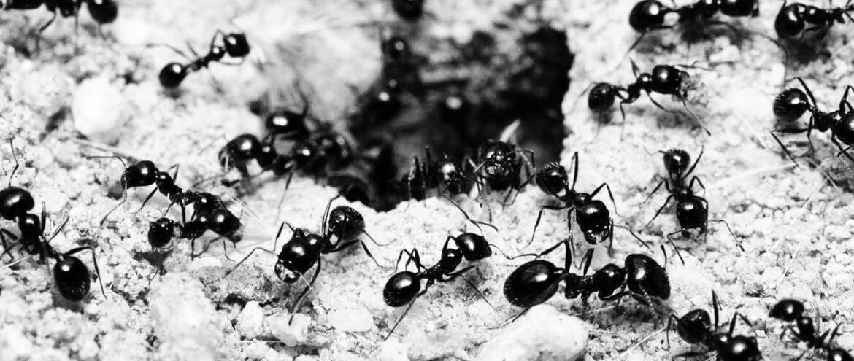 Karınca (1)